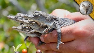 We Found Crocodile Hatchlings! by Brave Wilderness