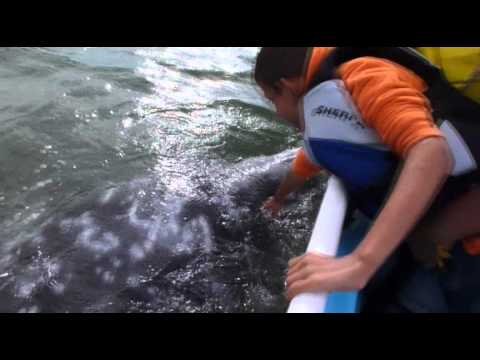 Baleia Cinzenta | Baja Califórnia