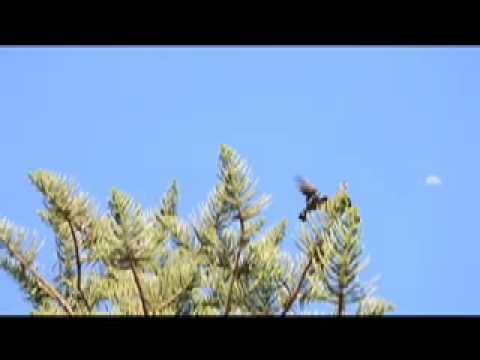 Carnaby's & Baudin's Black-Cockatoo calls
