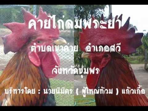 ไก่ชนภาคใต้ -