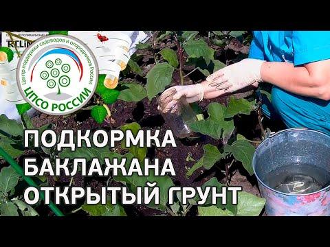 Подкормка баклажана в открытом грунте. Выращивание баклажанов.