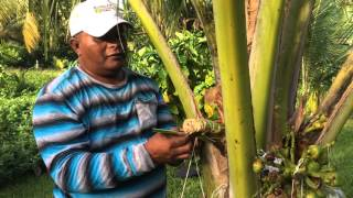 Uncle Johnnyton Bohanny shows us how to make jekaro, a Marshallese drink made from coconut sap.