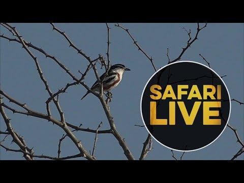 Video safariLIVE - Sunrise Safari - 2018, 21. June download in MP3, 3GP, MP4, WEBM, AVI, FLV January 2017