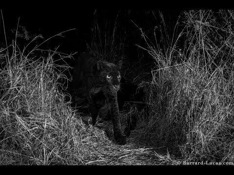 Kenia: Erste Bilder von schwarzem Panther seit 110 Ja ...