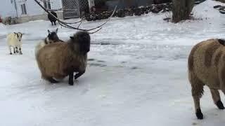 アルパカ先輩率いる羊・ヤギ軍、完全に凍った地面の上をつるんつるんと歩く!転ぶ!(カナダ)