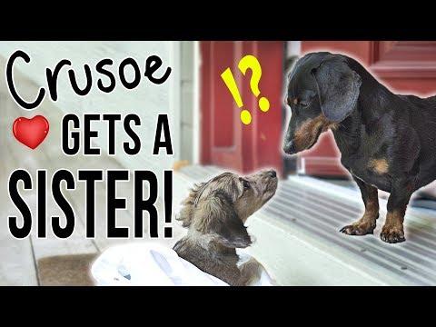 Ep #1: Crusoe Gets a SISTER! - (Cute Dachshund Puppy Video!)