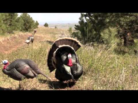 Turkey gets head chopped off by arrow SHOCKING VERY GRAPHIC