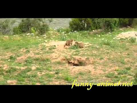 groundhogs-fighting