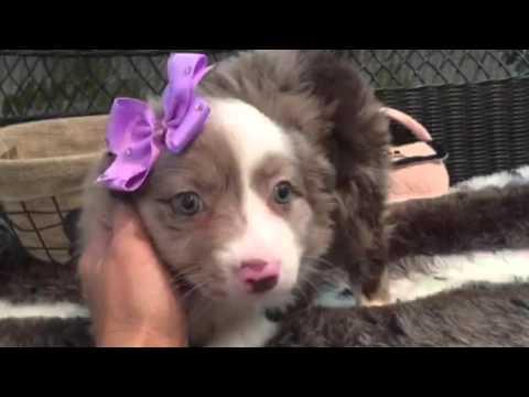 Beautiful, red merle Mini Aussie puppy