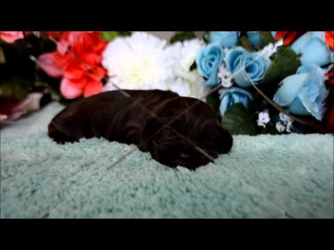 Brody AKC Chocolate Male Cocker Spaniel Puppy for sale