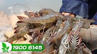 Thủy sản | Bệnh hoại tử gan tụy trên tôm: Cách phòng trị hiệu quả