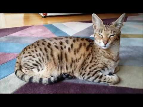 Living with Savannah cat