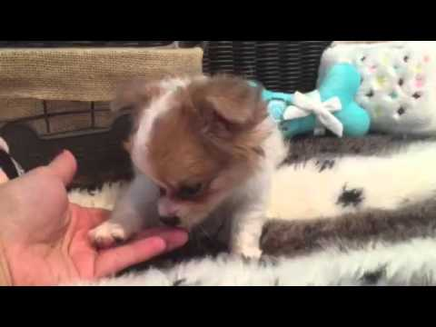 SWEET AND LOVABLE LONG HAIR CHIHUAHUA FEMALE
