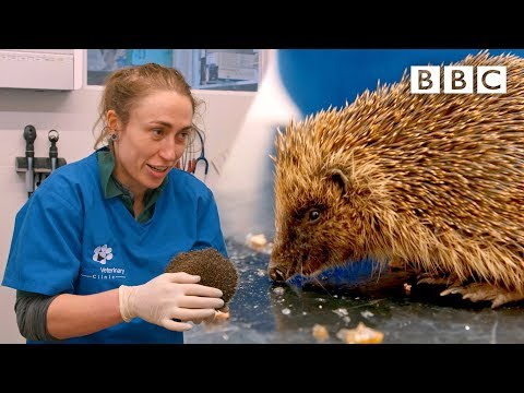 A very cute hedgehog's day at the vet 😍🦔 | Mountain Vets - BBC