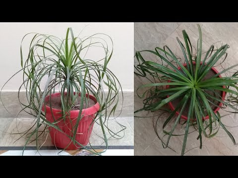 How to care for ponytail palm - Beaucarnea recurvata - Elephant's foot