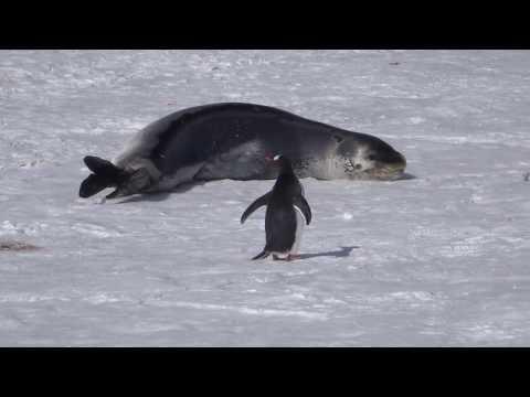Eselspinguin und Seeleopard - Antarktis видео