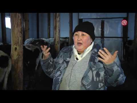 В Хангаласском районе разводят коров якутской породы