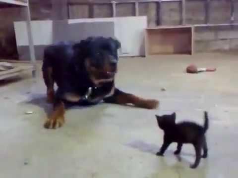 ★ Valiente gatico levanta a un Rottweiler ★ humor gatos ★ videos mas vistos