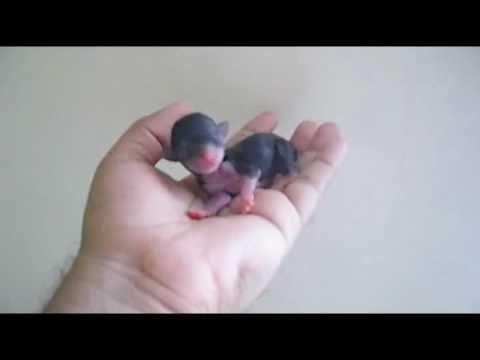 Cute Newborn Teacup Chihuahua – Chihuahua de Bolsillo Recien Nacido