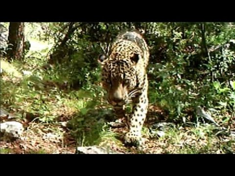 VIDEO: The Only Known Jaguar In The U.S. Is Roaming Around Arizona