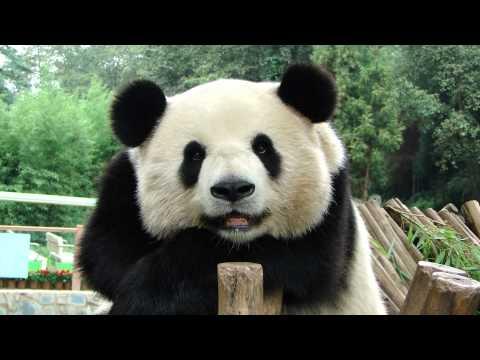 Un panda sorridente