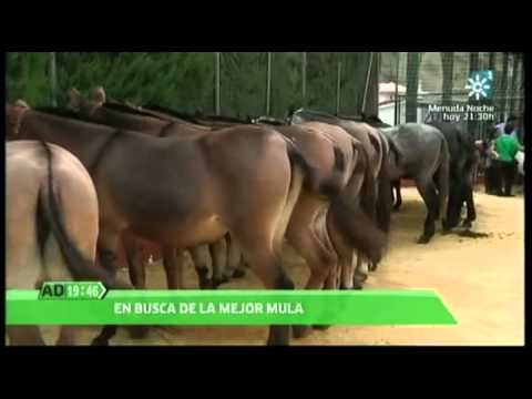 Feria de la Mula Arenas 2012