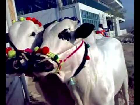 Most Amazing Bulls for Qurbani