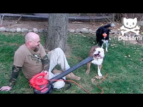 Bulldog Vs. Leaf Blower....Who ya got?!