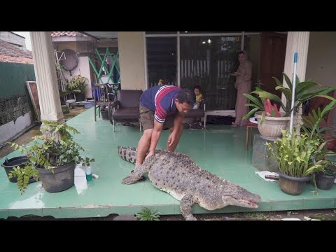 440 Pound Pet Crocodile Is Just Part of the Family