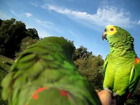 Amazon parrots free flight