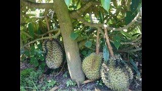 Video Rahsia Durian Berbuah Pokok Rendah MP3, 3GP, MP4, WEBM, AVI, FLV Desember 2018