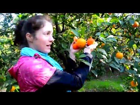 Сбор апельсин в израиле.сколько можно реально заработать.