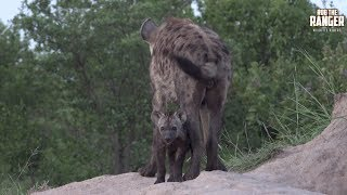 The eastern clan of hyena and their small cub at the Idube hyena den.Filmed at Idube Game Reserve in the Sabi Sand Wildtuin, Greater Kruger National Park, South Africa (http://www.idube.com/static)Filmed in 4K UHD resolution using the Sony AX100 video cameraSubscribe for more great wildlife clips: http://goo.gl/VdOHuSFollow #nowfilming on social networks for LIVE photo updatesROB THE RANGER WILDLIFE VIDEOS on Social Networks:TWITTER: http://goo.gl/U8IQGfBLOG: http://goo.gl/yJJ3pTFACEBOOK: http://goo.gl/M8pnJhGOOGLE+: http://gplus.to/robtherangerTUMBLR: http://goo.gl/qF6sNS#YouTubeZA#YouTubeSSA#SAYouTubers