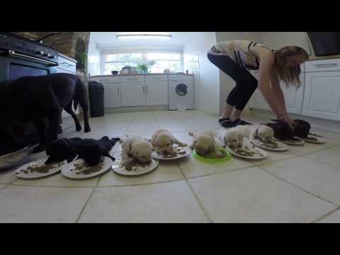10 labrador puppies eating for first time! funny!
