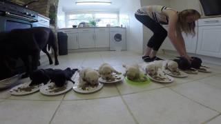 Najtrudniejsza praca świata! Nakarmić naraz 10 malutkich labradorów w jednej kuchni!