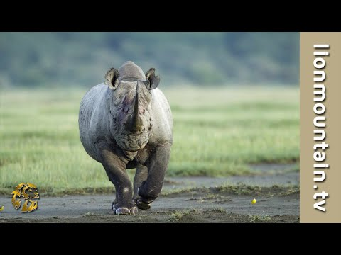 rhino - CAUGHT IN THE ACT: Black Rhino Rage - Black Rhino attack Male Lion. SUBSCRIBE: http://www.youtube.com/user/aquavisiontv Stock Footage available from Aquavisi...