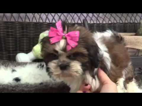Sweet Multi Colored Shih Tzu