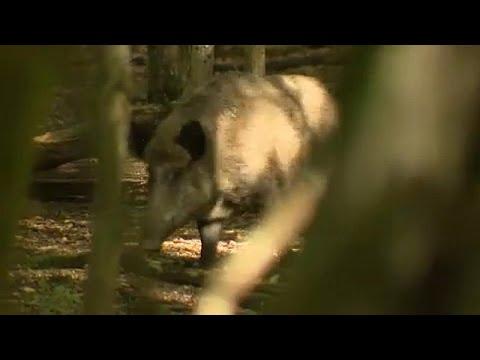 Κρούσματα πανώλης σε αγριόχοιρους στο Βέλγιο
