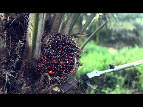 how to harvest oil palm