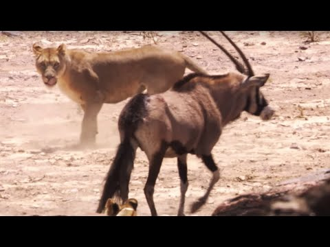 Lions attack Oryx | BBC Earth (видео)