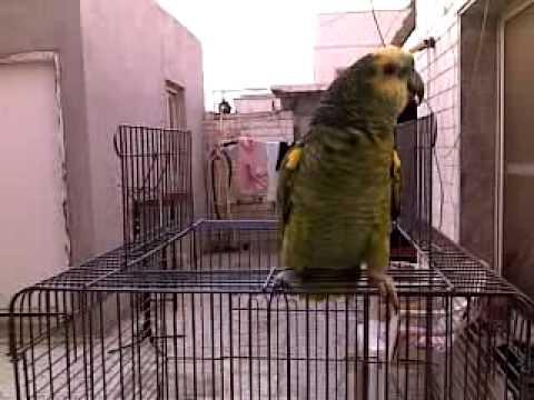 Parrot Crying كاسكو حسينيات يبكي