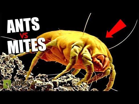 Ants vs. Mites - The War Has Begun