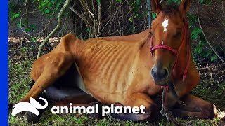 Emaciated Horse Rescued In Time To Save Her Life | Animal Cops Houston by Animal Planet