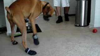 Mosley The Boxer Dog- Got His New Shoes On