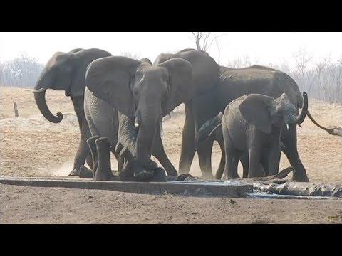 العرب اليوم - شاهد: أنثى فيل تنقذ صغيرها بعدما حشر نفسه داخل قناة ري
