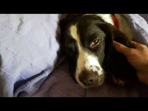 My English Springer Spaniel is Sick !!!
