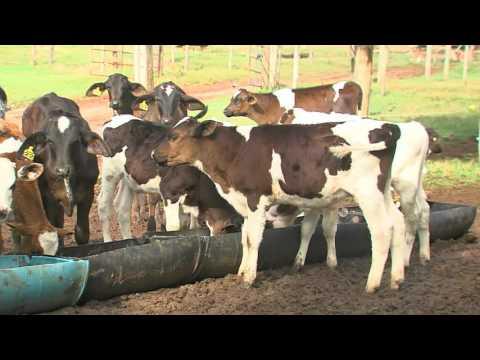 Quarenta bezerros que produziam novo leite são roubados em Nova Odessa