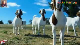 Video Suara Binatang Kambing (Embe) - Almira Sabrina Salmu MP3, 3GP, MP4, WEBM, AVI, FLV Januari 2019