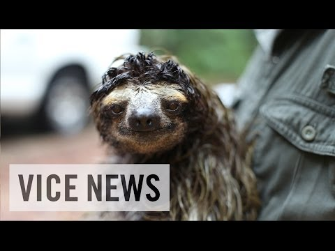 The Sloths That Could Cure Cancer%3A Bio-Prospecting in Panama