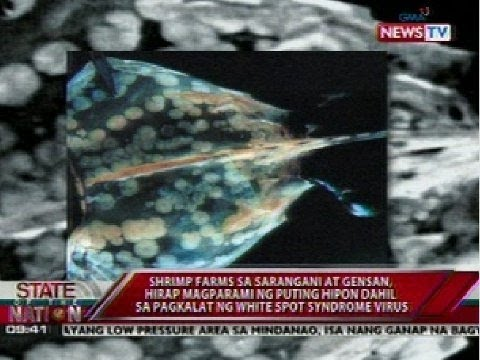 Shrimp farms, hirap magparami ng puting hipon dahil sa pagkalat ng White Spot Syndrome virus